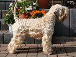 Irish Wheaten Terrier cu păr neted